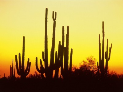 saguaro_cactus_at_sunset__arizona
